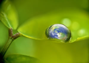 Globe-nestling-in-a-raindrop-on-a-leaf